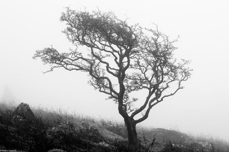 Hawthorn in the Mist