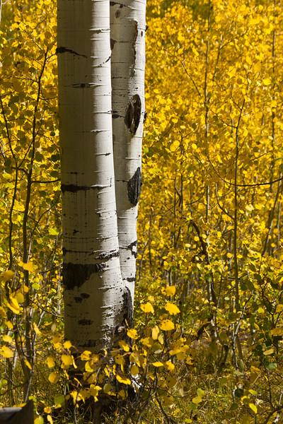 Autumn Aspen Pair
