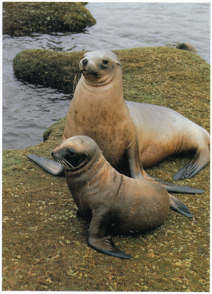 394_Kaikoura. Female New Zealand Fur Seal and Pup.jpg