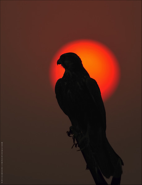 Laggar Falcon Sunset