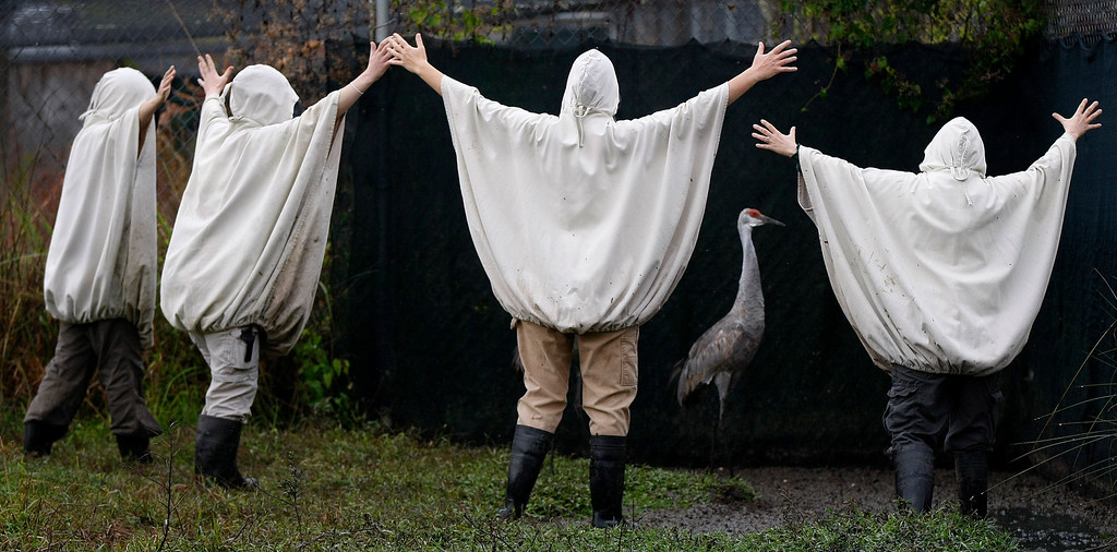 . In this Nov. 27, 2012 file photo, aviculturists at the Audubon Species Survival Center in New Orleans, wearing crane costumes, round up four endangered Mississippi sandhill cranes and transport them from their current habitat, to the Mississippi Sandhill Crane National Wildlife Refuge in Gautier, Miss. (AP Photo/Gerald Herbert, File)