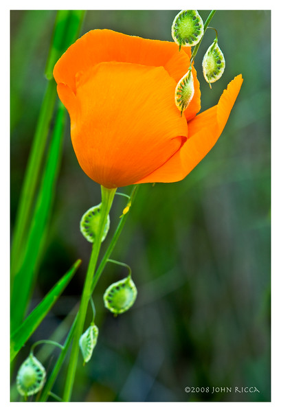 California Poppy & Lace Pod.jpg