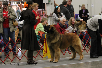 Leonberger- Best of Breed