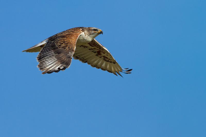 Ferruginous Hawk - San Jose, CA, USA