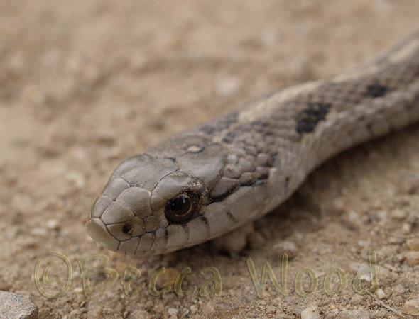 Terrestrial Gartersnake (Thamnophis elegans)