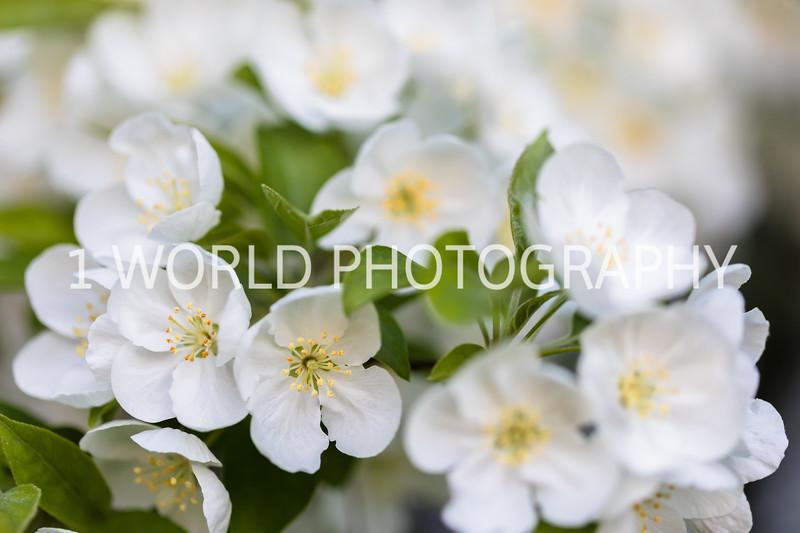 201905152019 Neighborhood Blossoms039--150.jpg