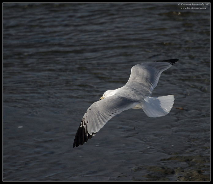 Ring-billed Gull, Robb Field, San Diego River, San Diego County, California, March 2011