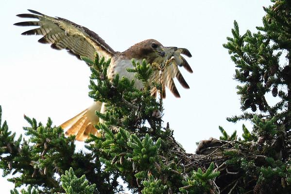 6 2013 Jun 29 Red-tailed Hawk*