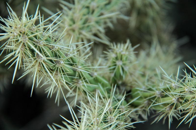 Cholla Cactus Detail