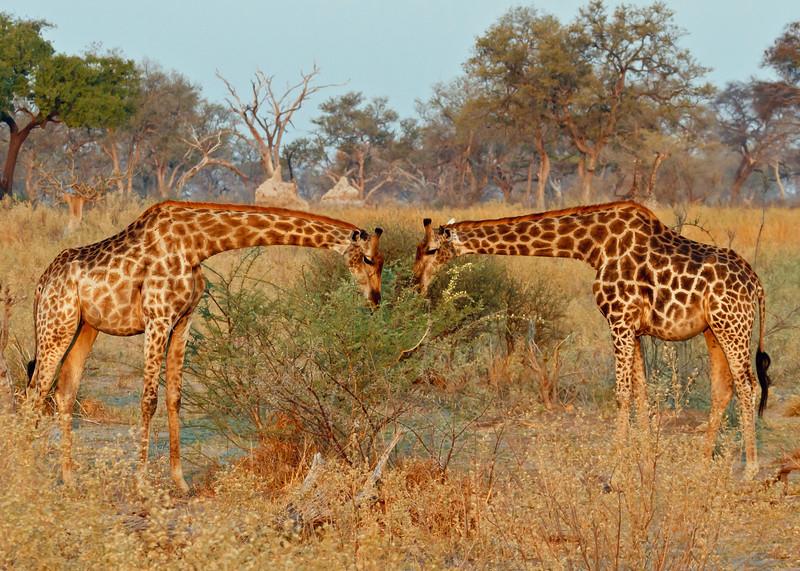Giraffes, Botswana, Africa