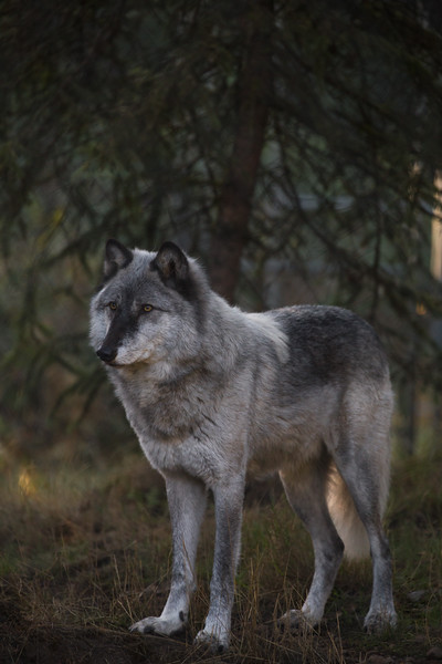WolfHaven (19 of 31).jpg