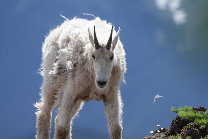 Klahanne Ridge Goat