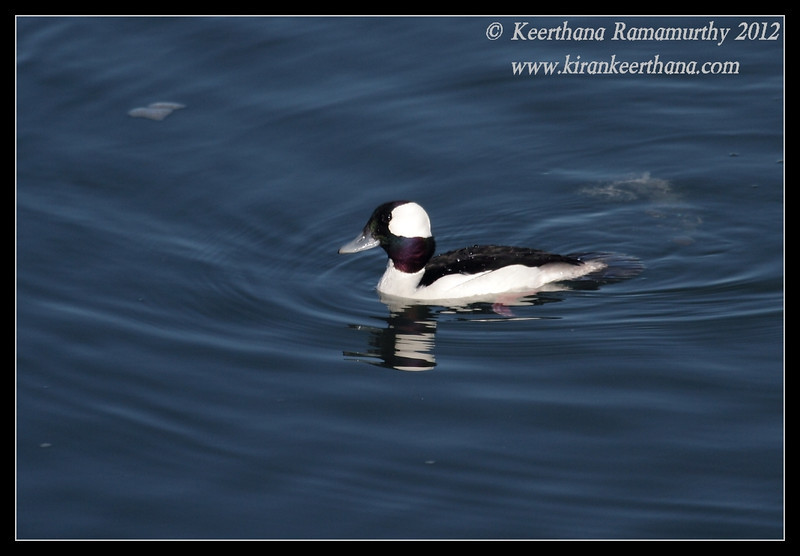 Male Bufflehead, Robb Field, San Diego River, San Diego County, California, February 2012