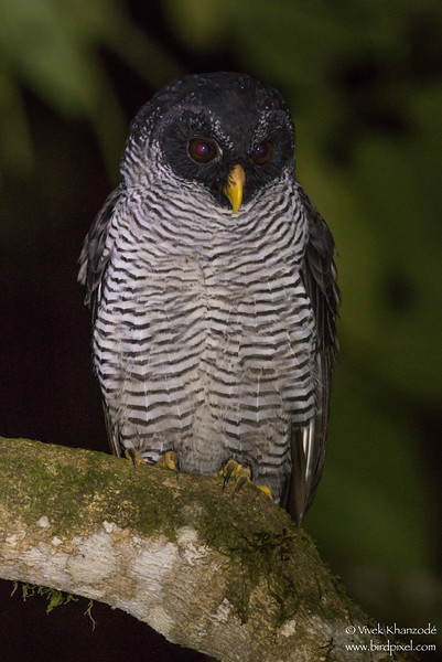 Black-and-White Owl - Mindo, Ecuador