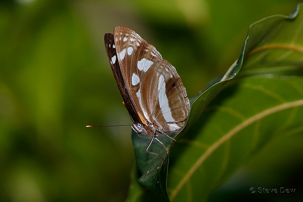 White-banded Plane