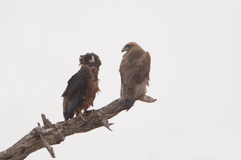 Bateleur - Tarangire National Park, Tanzania