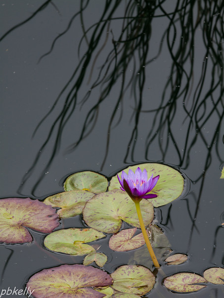 water lily 061613-1.jpg