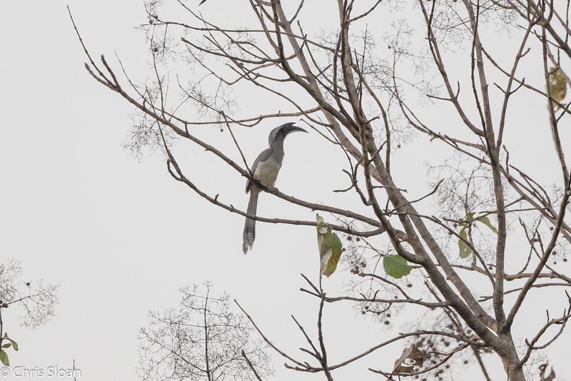 Indian Gray Hornbill along road from Kochi to Ooty, India (02-22-2015) 054-69.jpg