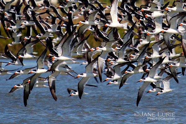 Skimmers, Egrets and Pelicans, Oh My!