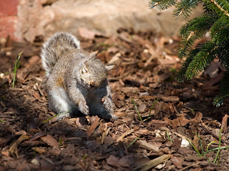 All that digging? Squirrels love dirt. They eat dirt for the macroelements it provides. Dust baths and when they are nursing or it is very hot....