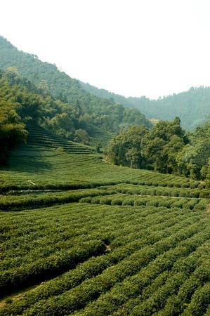 Friday - Dragon Well Tea Garden