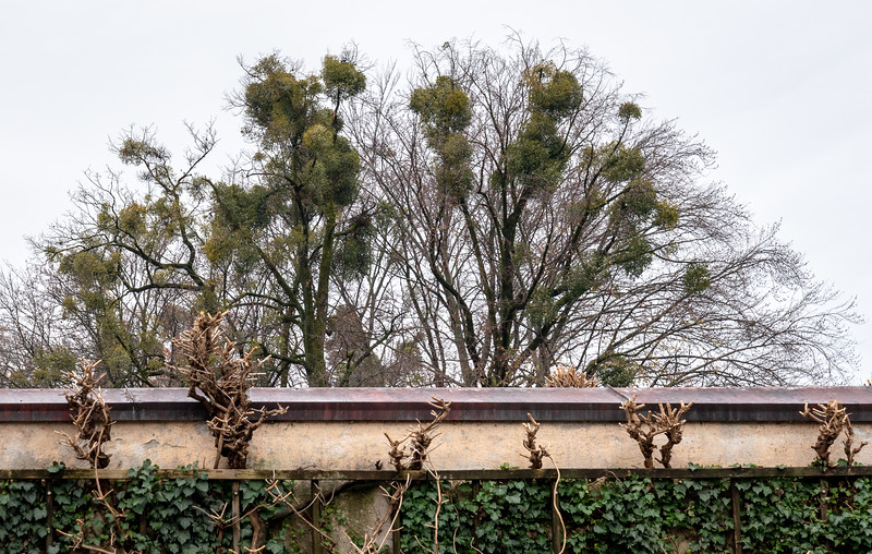 Balls of Mistletoe in the trees is a common sight