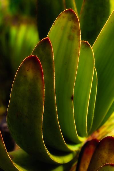 Cactus 3, U. C. Santa Cruz Arboretum, California, 2010