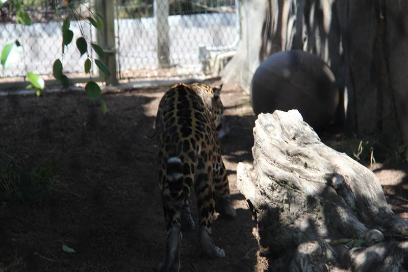 20170807-081 - San Diego Zoo - Leopard.JPG