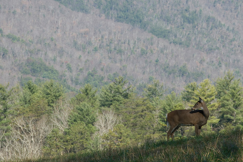 Wild animal in the Great Smoky Mountains National Park, Tennessee