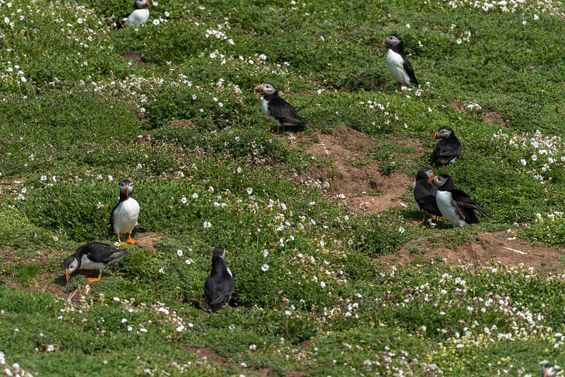 Puffins at the nest-holes