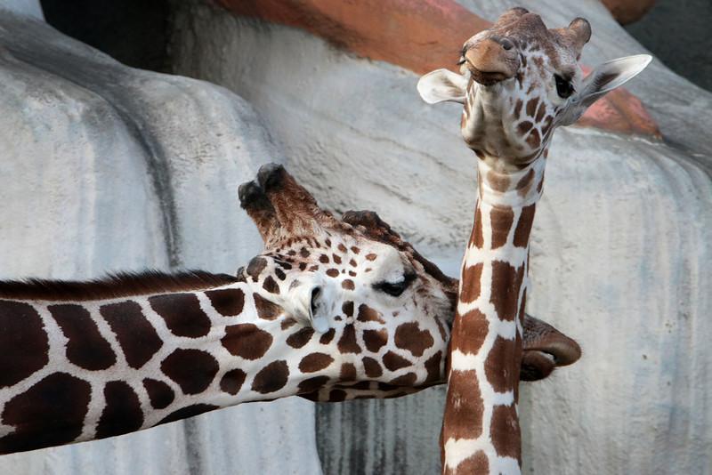 giraffe_nuzzle_lowres.jpg