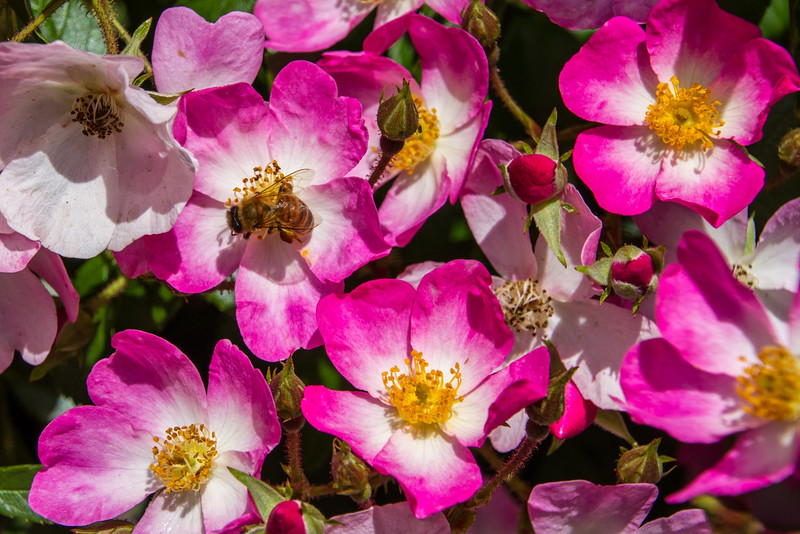 Filoli_Roses-08.jpg