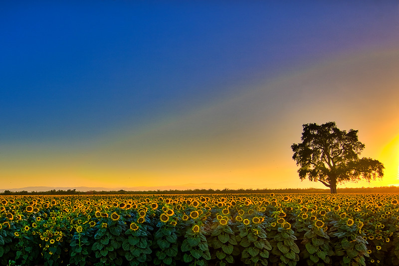 Sunflower Field 1_PS DSC0713_HDR_edit.jpg