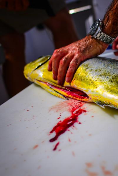 Gutting a mahi mahi fish.jpg