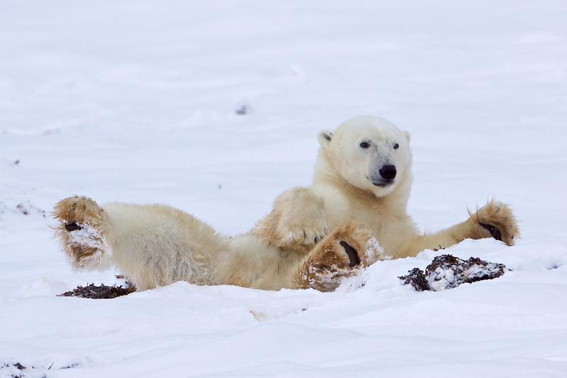 polar bear  5946.jpg