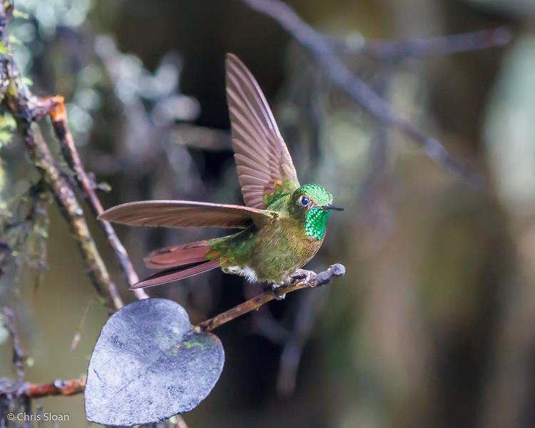 Tyrian Metaltail at Yanacocha Reserve, Ecuador (03-07-2014) 030-22-Edit.jpg