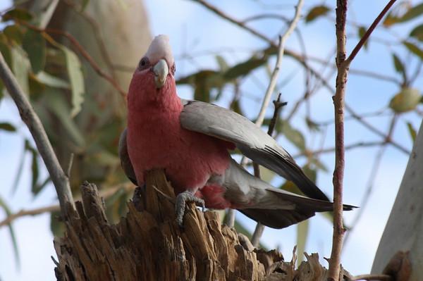 Cockatoos and Galahs