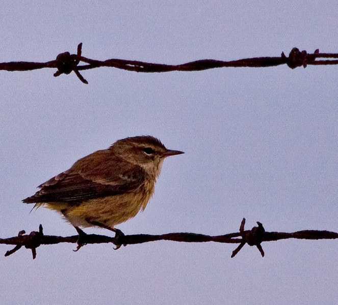 Palm Warbler(immature) - notice that it does not have a tail.
