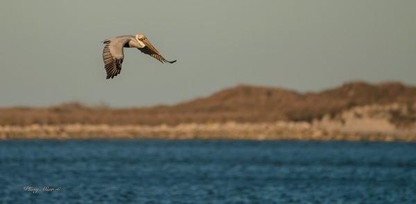 Brown Pelican water_DWL5214.jpg