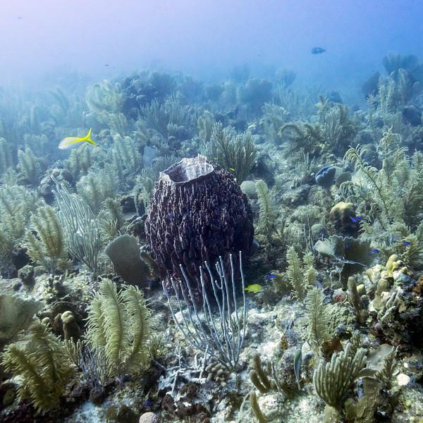 Corals underwater, Dive Site, East Wall, Belize