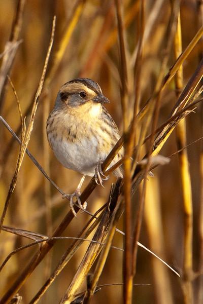 Sparrow - Nelson's - LaFayette Park - Apalachicola, FL - 02
