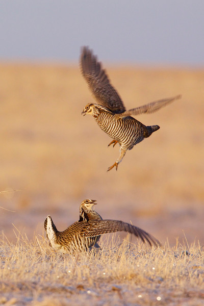 Greater Prairie Chicken Tympanuchus cupido