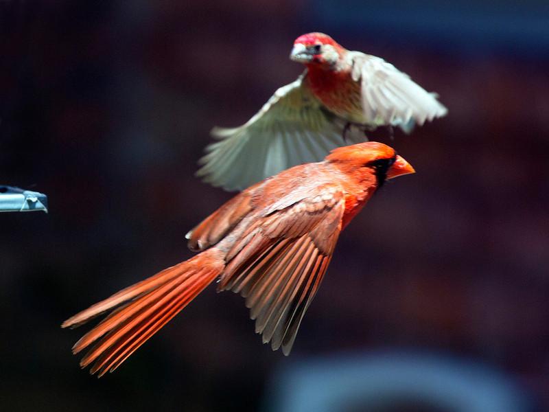 cardinalandhousefinchinflight.jpg