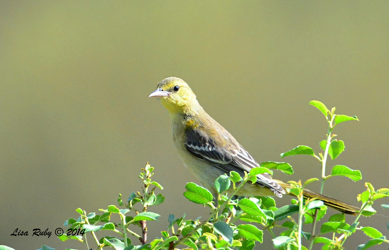 Immature Female Hooded Oriole - 7/13/2014 - Nancy's House, Ramona