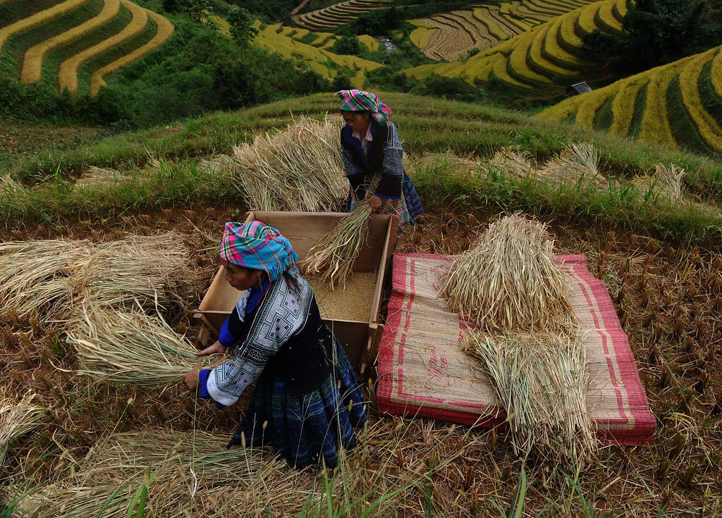 . This picture taken on October 1, 2013 shows Hmong ethnic hilltribe women thrashing bunches of paddy against a wooden box as they harvest rice on a terrace rice field in Mu Cang Chai district, in the northern mountainous province of Yen Bai. The local residents, mostly from the Hmong hill tribe, grow rice in the picturesque terrace fields whose age is estimated to hundreds years. Due to hard farming conditions, especially irrigation works, locals produce only one rice crop per year. In recent years a growing numbers of tourists have been attracted by the beautiful landscapes created by the region\'s rice terrace fields.  HOANG DINH NAM/AFP/Getty Images