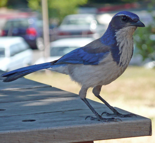 An unknown bird.  Picture taken during lunch at SLAC.  It was looking for food on the patio table.