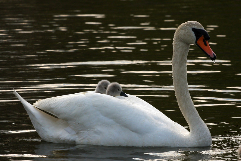 Swans and cygnets, Brook Rd, Westhampton Beach.