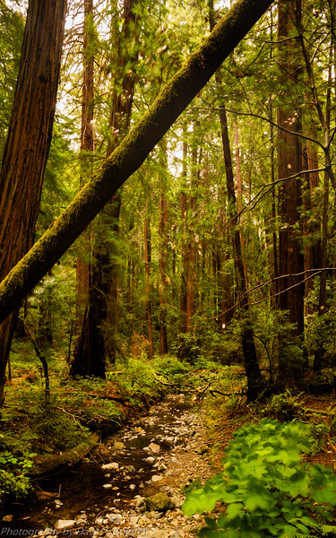 Muir Woods National Monument Collection