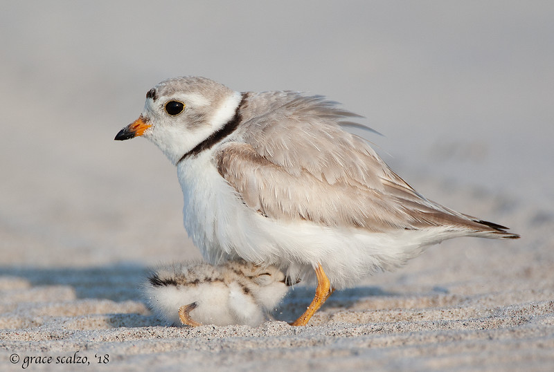 Piping Plover brooding tiny chick