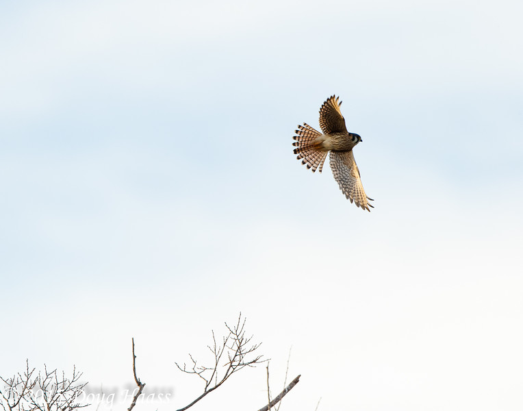 Female American Kestrel Falco sparverius